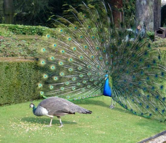 1060+  Gambar Burung Merak Tercantik Di Dunia  Terbaru Gratis